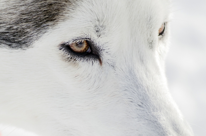 One Siberian Husky Dog Close Up Portrait. Husky Dog Has Black An