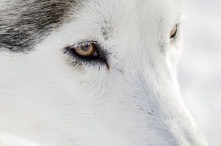 One Siberian Husky Dog Close Up Portrait. Husky Dog Has Black An